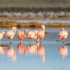 Chilean Flamingo, Flamenco Chileno (Phoenicopterus chilensis)