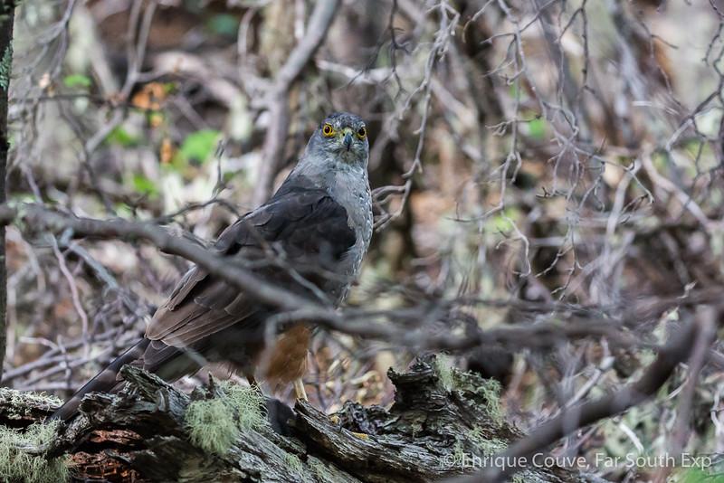 Peuquito - Accipiter bicolor chilensis