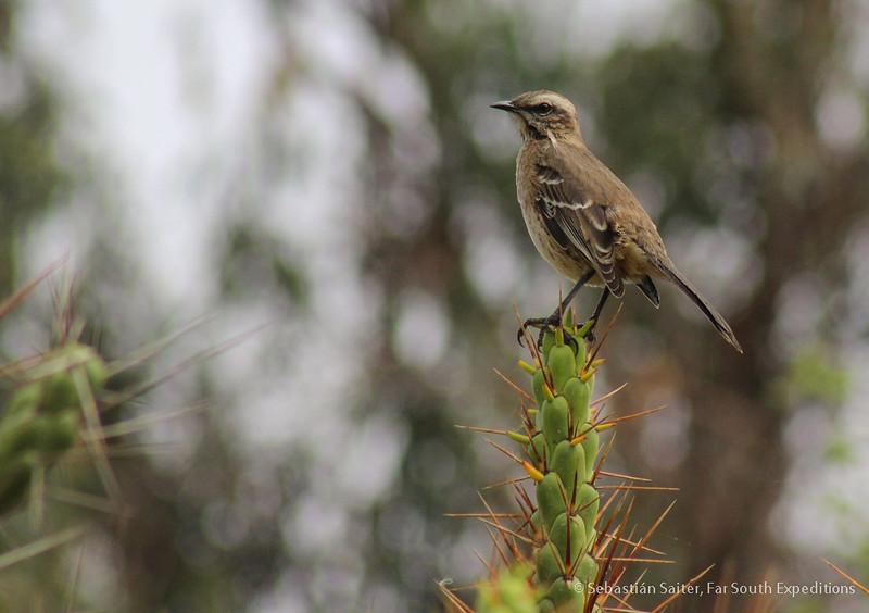 Chilean Mockingbird, Tenca (Mimus thenca)