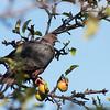 Chilean Pigeon, Torcaza (Patagioenas araucana)