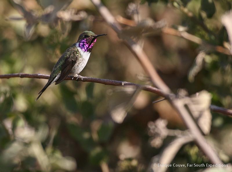 Chilean Woodstar, Picaflor de Arica (Eulidia yarrellii)