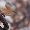 Cobb's Wren (Troglodytes cobbi), Carcass Island, Falkland Islands / Islas Malvinas