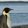 Emperor Penguin, Pingüino Emperador (Aptenodytes forsteri)