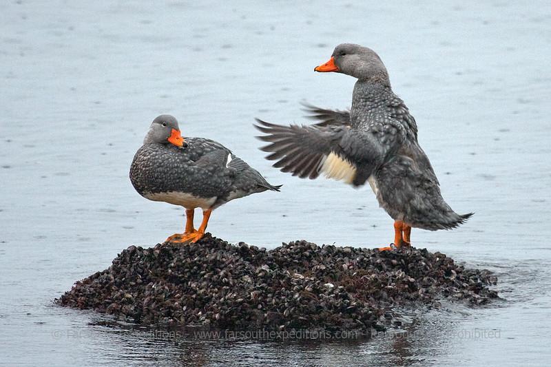 Flightless Steamer Duck, Tachyeres pteneres