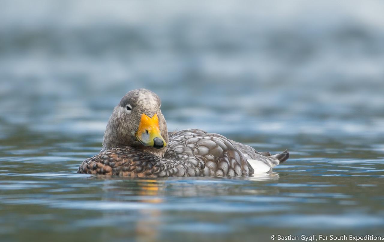Flying Steamer-Duck, Quetru Volador (Tachyeres patachonicus)