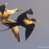 Great Frigatebird, Ave Fragata Grande (Fregata minor)
