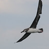 Grey-headed Albatross, Albatros de Cabeza Gris (Thalassarche chrysostoma)