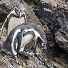 Humboldt Penguin, Pingüino de Humboldt (Spheniscus humboldti)