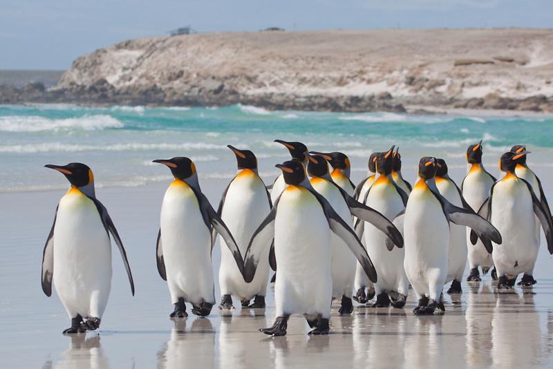 King Penguin, Aptenodytes patagonicus, Volunteer Point, Falkland Islands / Islas Malvinas