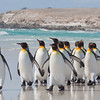 King Penguin, Aptenodytes patagonicus, Volunteer Point, Falkland Islands / Islas Malvinas