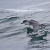 Subantarctic Shearwater | Puffinus assimilis elegans | Fardela Chica