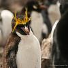 Macaroni Penguin, Pingüino Macaroni (Eudyptes chrysolophus)