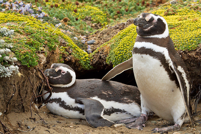 Magellanic Penguin, Spheniscus magellanicus