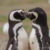 Magellanic Penguin, Pingüino de Magallanes (Spheniscus magellanicus)