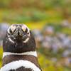 Magellanic Penguin (Spheniscus magellanicus)
