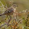 Patagonian Mockingbird, Tenca Patagónica (Mimus patagonicus)
