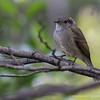 Patagonian Tyrant, Viudita (Colorhamphus parvirostris)