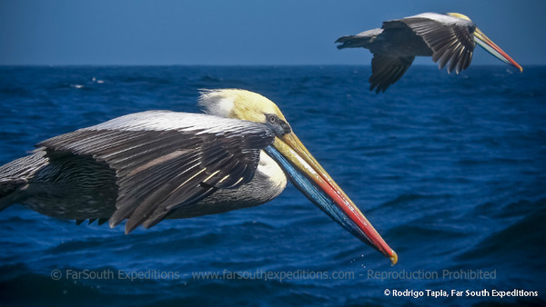Peruvian Pelican, Pelícano (Pelecanus thagus)