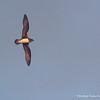 Phoenix Petrel, Petrel de Fénix (Pterodroma alba)