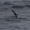 Pincoya Storm-Petrel (Oceanites pincoyae), Chacao Channel, Los Lagos, Chile - 10/28/2010