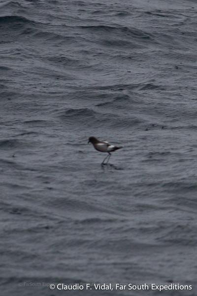 Pincoya Storm-Petrel (Oceanites pincoyae), Chacao Channel, Los Lagos, Chile - 10/28/2010