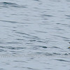 Pincoya Storm-Petrel (Oceanites pincoyae), Corcovado Gulf, Los Lagos, Chile - 03/13/2007