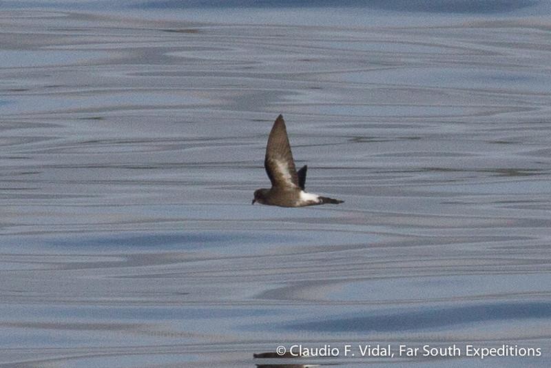 Pincoya Storm-Petrel (Oceanites pincoyae), Chacao Channel, Los Lagos, Chile - 10/26/2010