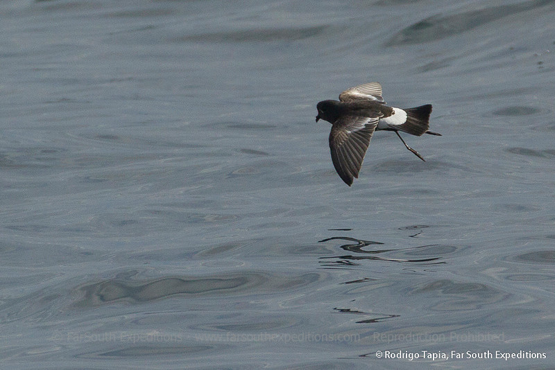 Pincoya Storm-Petrel, Golondrina de Mar Pincoya (Oceanites pincoyae)
