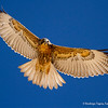 Puna Hawk, Aguilucho de la Puna (Geranoaetus polyosoma fjeldsai)
