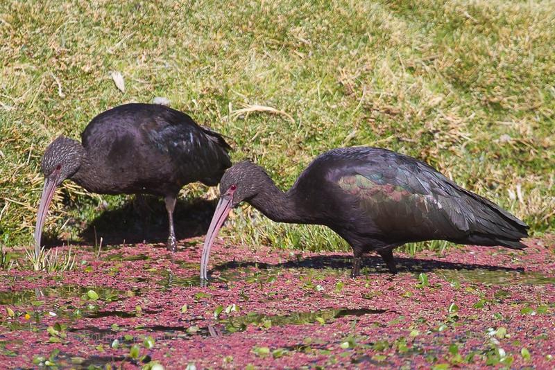 Puna Ibis, Plegades ridgwayi