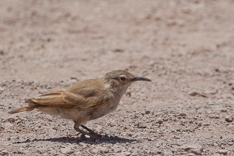 Puna Miner, Geositta punensis