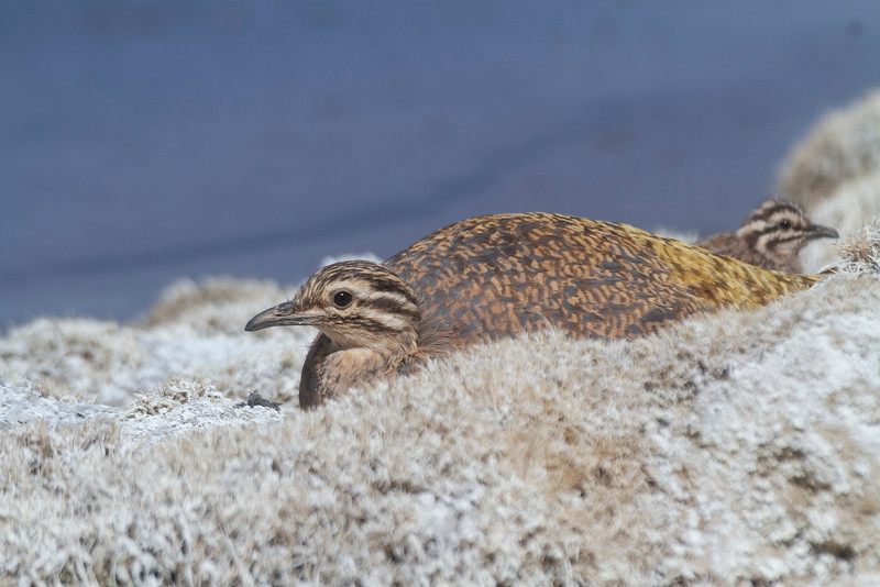 Perdiz de la Puna (Kiula), Puna Tinamou (Tinamotis pentlandii)