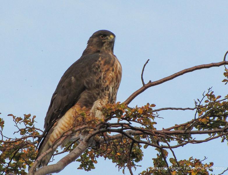 Rufous-tailed Hawk, Aguilucho de Cola Rojiza (Buteo ventralis)