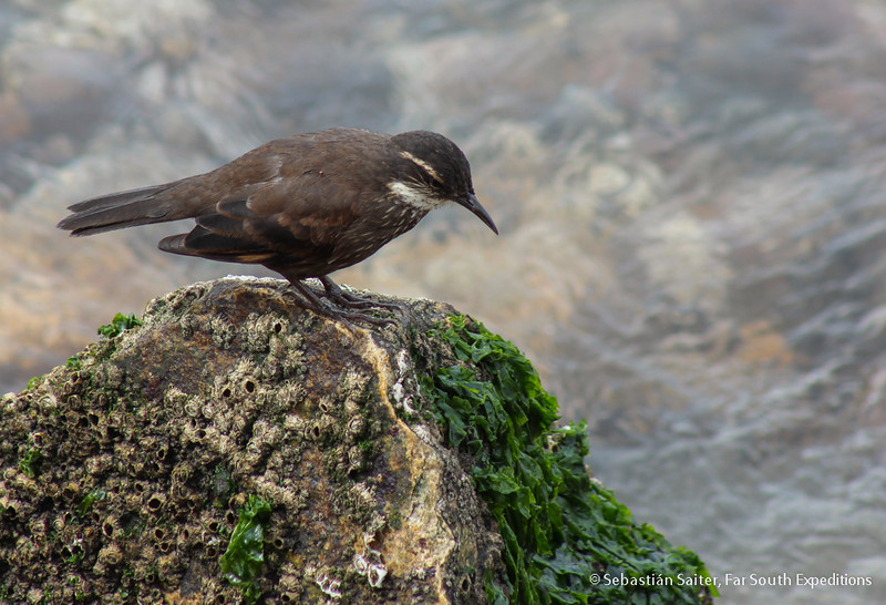 Seaside Cinclodes, Churrete Costero (Cinclodes nigrofumosus)