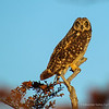 Short-eared Owl, Nuco (Asio flammeus)