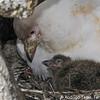 Snowy Sheathbill, Paloma Antártica (Chionis albus)
