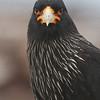 Striated Caracara, Carancho Negro (Phalcoboenus australis)