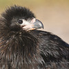 "Juvenile of Striated Caracara or ""Johnny Rook"" (Phalcoboenus australis), Falkland Islands / Islas Malvinas"