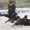 "Striated Caracaras or ""Johnny Rooks"" gathering around a penguin carcass, Falkland Islands / Islas Malvinas"
