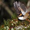 Thorn-tailed Rayadito (Aphrastura spinicauda)
