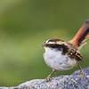 Thorn-tailed Rayadito, Aphrastura spnicauda