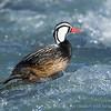 Torrent Duck, Pato Cortacorrientes (Merganetta armata)