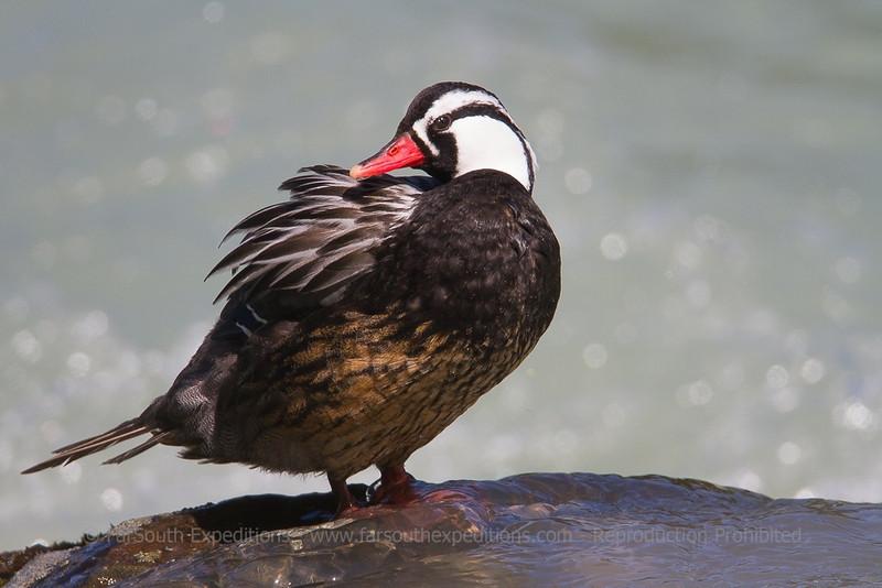 Torrent Duck, Merganetta armata, Torres del Paine National Park, Chile
