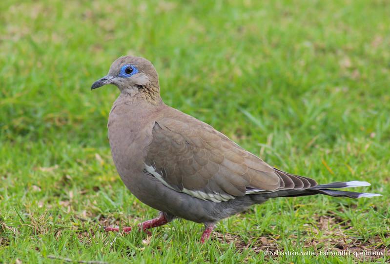West Peruvian Dove, Paloma de Alas Blancas (Zenaida meloda)