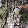 White-throated Treerunner, Comesebo Grande (Pygarrhichas albogularis)