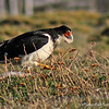 White-throated Caracara, Phalcoboenus albogularis