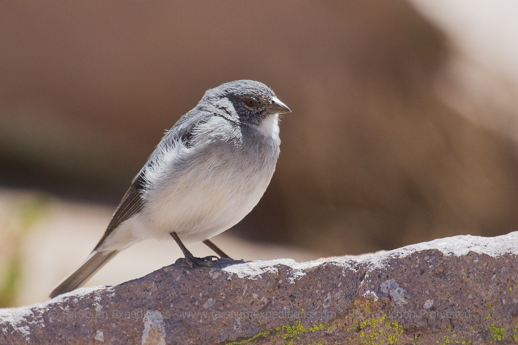 White-throated Sierra Finch, Phrygilus erythronotus