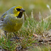 Yellow-bridled Finch, Melanodera xanthogramma