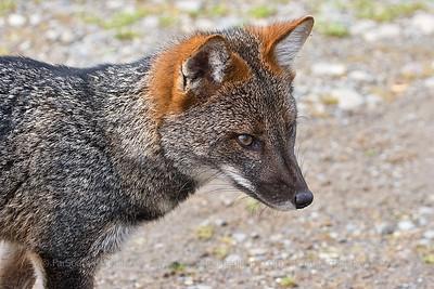 Darwin's Fox, Lycalopex fulvipes, Chiloé Island