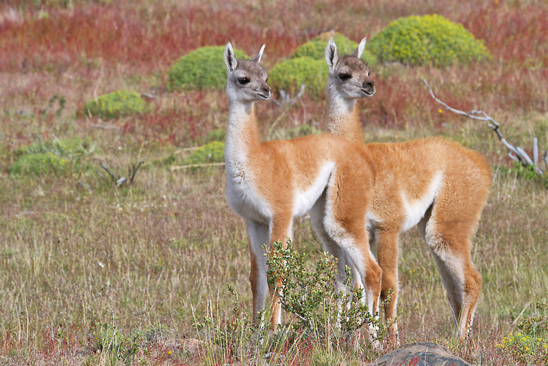 A couple of young guanacos, locally known as 'Chulengos', are a usual sight during the southern spring and summer in Patagonia's Torres del Paine NP